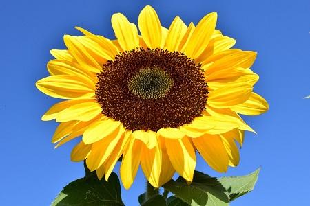 perspective-book-3-summer-update-a-happy-sunflower